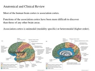 Anatomical and Clinical Review Most of the human brain cortex is association cortex. Functions of the association cortex