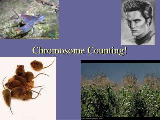 Chromosome Counting!