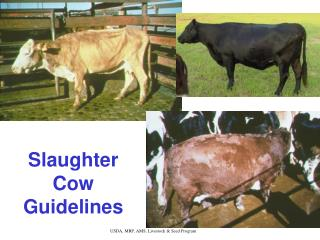 Slaughter Cow Guidelines