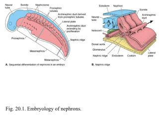 Fig. 20.1. Embryology of nephrons.