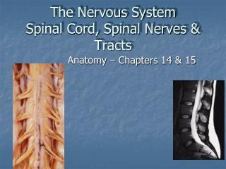 The Nervous System Spinal Cord, Spinal Nerves  Tracts