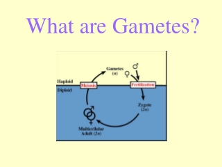 What are Gametes?