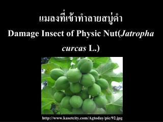 ?????????????????????? Damage Insect of Physic Nut ( Jatropha curcas  L .)