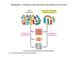 Metabolism = breaking molecules down and building up new ones