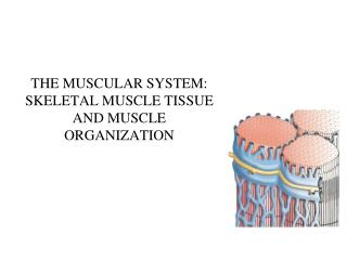 THE MUSCULAR SYSTEM: SKELETAL MUSCLE TISSUE AND MUSCLE ORGANIZATION