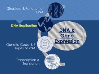 DNA: DNA Replication