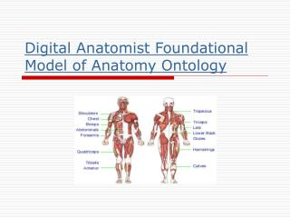 Digital Anatomist Foundational Model of Anatomy Ontology