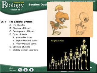36–1    The Skeletal System A. 	The Skeleton B. 	Structure of Bones C. 	Development of Bones D. 	Types of Joints 1. 	I