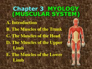 Chapter 3   MYOLOGY  (MUSCULAR SYSTEM)