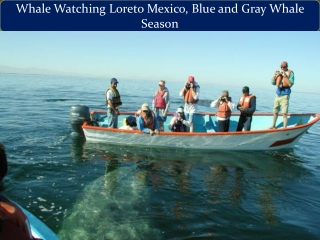 Whale Watching Loreto Mexico, Blue and Gray Whale Season