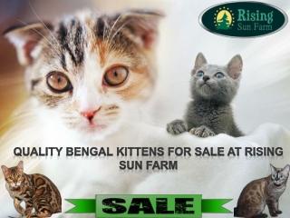 Kitten for Sales - Rising Sun Farm Inc