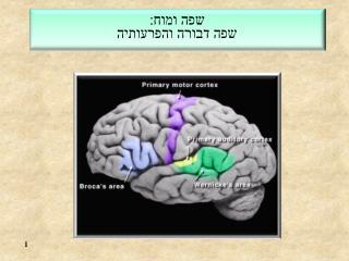 שפה ומוח: שפה דבורה והפרעותיה