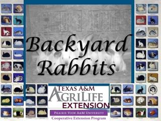 Backyard Rabbits