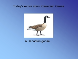 Today's movie stars: Canadian Geese