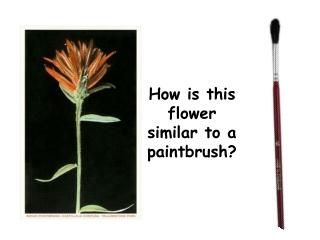 How is this flower similar to a paintbrush?