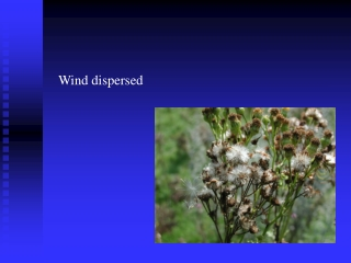 Wind dispersed