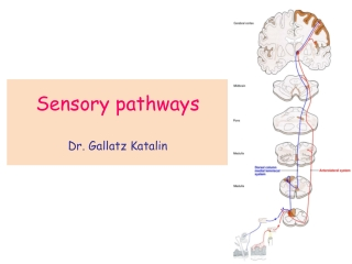 Sensory pathways Dr. Gallatz Katalin