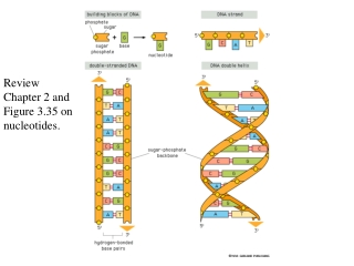 Review Chapter 2 and Figure 3.35 on nucleotides.