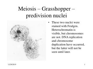Meiosis – Grasshopper –predivision nuclei