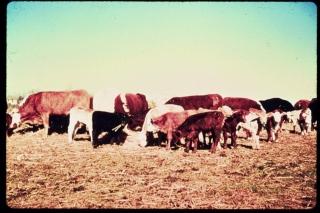 Feeder Cattle Grading