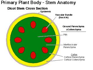 vascular bundles arranged at random throughout stem