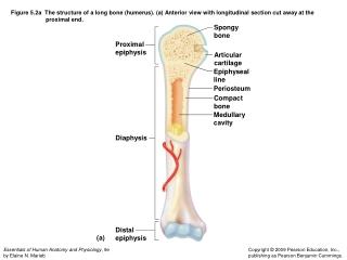 Proximal epiphysis