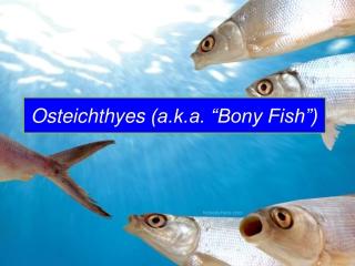 """Osteichthyes (a.k.a. """"Bony Fish"""")"""