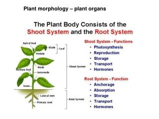 Plant morphology – plant organs