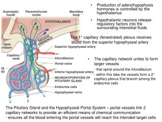 The capillary network unites to form larger vessels - that spiral around the infundibulum