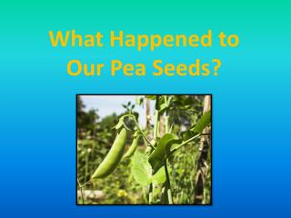 What Happened to  Our Pea Seeds?
