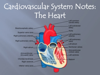 Cardiovascular System Notes: The Heart