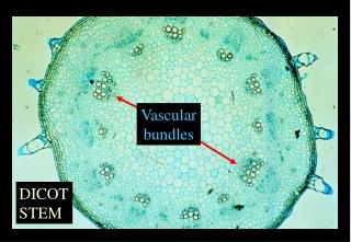 Vascular bundles
