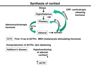 Synthesis of cortisol