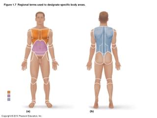 Figure 1.7  Regional terms used to designate specific body areas.