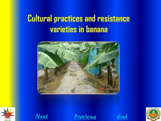 Cultural practices and resistance varieties in banana