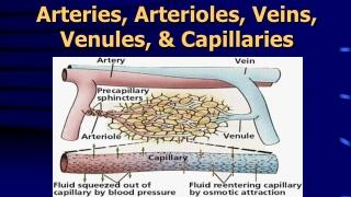 Arteries, Arterioles, Veins,  Venules , & Capillaries