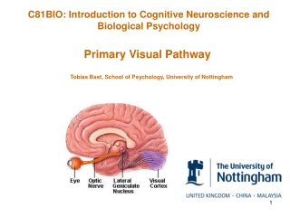 Primary Visual Pathway