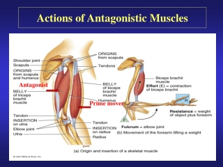 Actions of Antagonistic Muscles