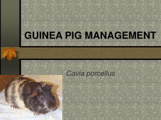 GUINEA PIG MANAGEMENT