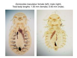 Goniocotes maculatus : female, head.  Legend: a, antenna; e, eye; md, mandibles.