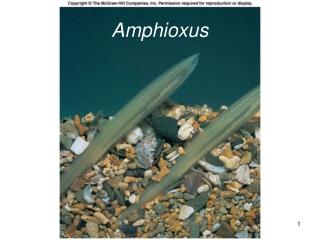 Amphioxus