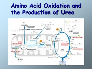 Amino Acid Oxidation and  the Production of Urea