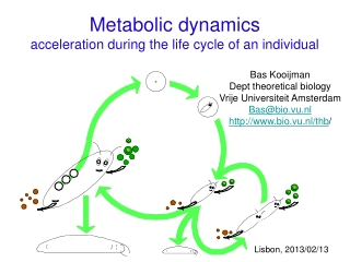 Metabolic dynamics  acceleration during the life cycle of an individual