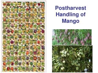 Postharvest  Handling of  Mango