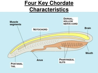 Four Key Chordate Characteristics