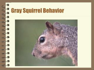 Gray Squirrel Behavior