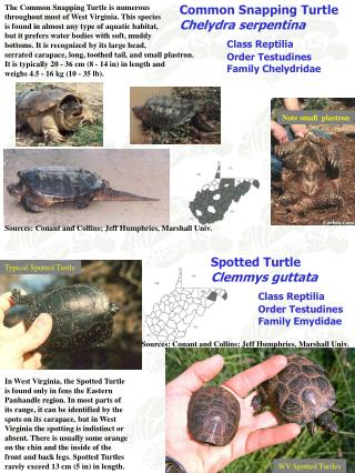 Common Snapping Turtle Chelydra serpentina Class Reptilia 	Order Testudines 	Family Chelydridae