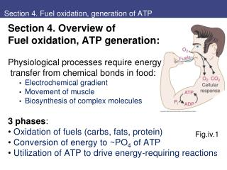 Section 4. Fuel oxidation, generation of ATP