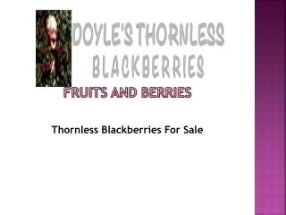Thornless Blackberries For Sale