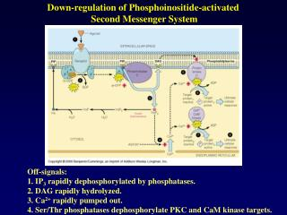 Down-regulation of Phosphoinositide-activated  Second Messenger System